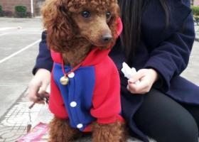 寻狗启示,我于2017年2月2日,在赣县客家文化城附近遗失泰迪犬一只,求好心人帮忙,它是一只非常可爱的宠物狗狗,希望它早日回家,不要变成流浪狗。