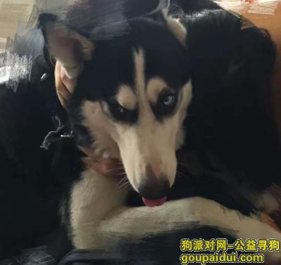 荆州捡到狗,走失成年哈士奇寻主人,它是一只非常可爱的宠物狗狗,希望它早日回家,不要变成流浪狗。