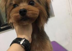 寻狗启示,珠海寻找约克夏~沙果,它是一只非常可爱的宠物狗狗,希望它早日回家,不要变成流浪狗。