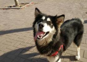寻狗启示,求助!寻狗启事阿拉斯加,它是一只非常可爱的宠物狗狗,希望它早日回家,不要变成流浪狗。
