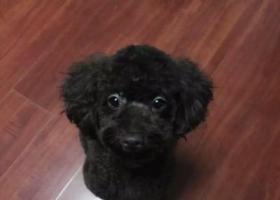 西安,找泰迪犬,2岁,母犬