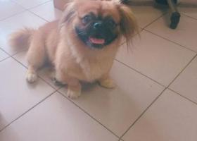 寻狗启示,悬赏2000元寻找名叫胖妞走失的小狗,它是一只非常可爱的宠物狗狗,希望它早日回家,不要变成流浪狗。