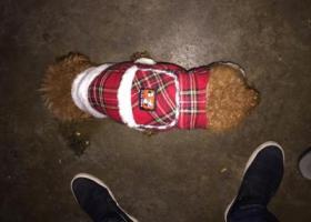 寻狗启示,谁丢的小狗,寻找它的主人,它是一只非常可爱的宠物狗狗,希望它早日回家,不要变成流浪狗。