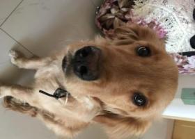 寻狗启示,谁家丢了金毛了快来认领,它是一只非常可爱的宠物狗狗,希望它早日回家,不要变成流浪狗。