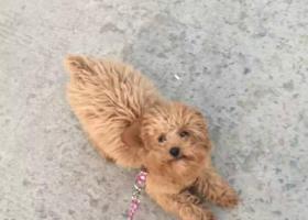 寻狗启示,沭阳火车站附近丢失泰迪犬一只,它是一只非常可爱的宠物狗狗,希望它早日回家,不要变成流浪狗。
