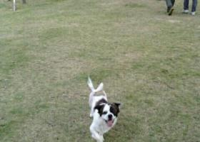 寻狗启示,紧急寻狗     土豆,你快回来!,它是一只非常可爱的宠物狗狗,希望它早日回家,不要变成流浪狗。