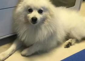 寻狗启示,海盐县贝沙港湾附近走失一条白色银狐,,它是一只非常可爱的宠物狗狗,希望它早日回家,不要变成流浪狗。