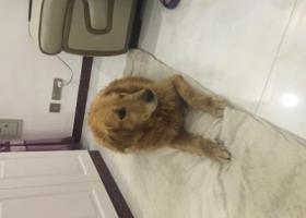 寻狗启示,托克托县捡到怀孕母金毛,它是一只非常可爱的宠物狗狗,希望它早日回家,不要变成流浪狗。