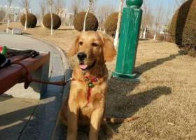 寻狗启示,陕西省榆林市榆阳区康复路附近丢失一条金毛犬,它是一只非常可爱的宠物狗狗,希望它早日回家,不要变成流浪狗。