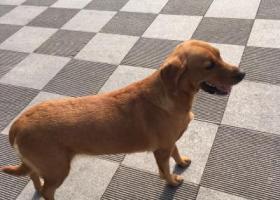 寻狗启示,寻拉布拉多酬金1000元2月11日元宵节晚泰华附近,它是一只非常可爱的宠物狗狗,希望它早日回家,不要变成流浪狗。