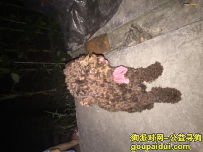 ,寻找泰迪狗 即使有万分之一的希望 急急急,它是一只非常可爱的宠物狗狗,希望它早日回家,不要变成流浪狗。