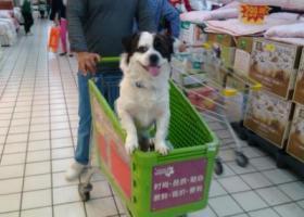 寻狗启示,土豆,你在哪里?你快点回来!,它是一只非常可爱的宠物狗狗,希望它早日回家,不要变成流浪狗。