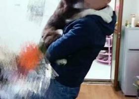 寻狗启示阿拉斯加一只身体红棕色,四肢及尾巴为白色毛