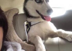 寻狗启示,6个月鸳鸯眼母哈士奇,它是一只非常可爱的宠物狗狗,希望它早日回家,不要变成流浪狗。