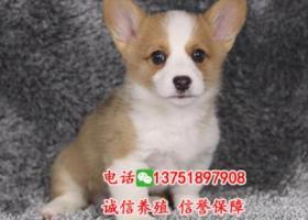 出售纯种柯基犬,正规犬舍繁殖,疫苗齐全,健康保障