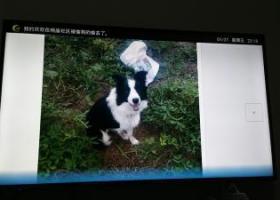 寻狗启示,山东省东营市垦利区董集镇杨庙社区丢失一只黑白色边牧公狗。,它是一只非常可爱的宠物狗狗,希望它早日回家,不要变成流浪狗。