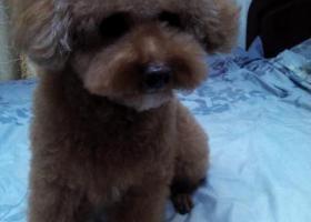 哈尔滨道里区工部街与友谊路交口捡到一只泰迪犬