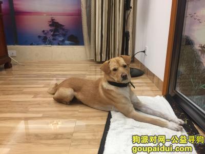 ,寻狗启示:韶关横石水走丢黄色土狗拉布拉多,它是一只非常可爱的宠物狗狗,希望它早日回家,不要变成流浪狗。