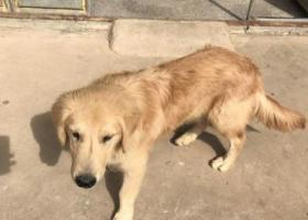 寻狗启示,寻找丢失的金毛爱犬 --胖子,它是一只非常可爱的宠物狗狗,希望它早日回家,不要变成流浪狗。