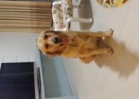 寻狗启示,重金寻找金毛 清颖公园附近,它是一只非常可爱的宠物狗狗,希望它早日回家,不要变成流浪狗。