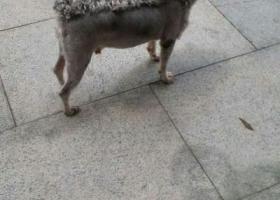 广州寻狗灰白色垂耳雪纳瑞