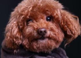 寻找6岁贵宾泰迪公狗