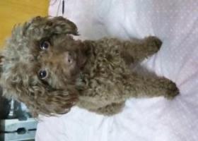请大家帮忙寻找我家泰迪犬兜兜,酬金5000元,谢谢了!