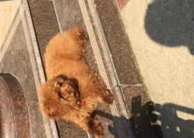 寻狗启示,如皋苏南石化加油站附近走丢,公泰迪,能帮忙找到,给5000重谢,它是一只非常可爱的宠物狗狗,希望它早日回家,不要变成流浪狗。