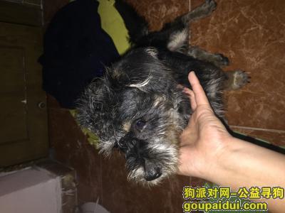 寻狗启示,本人捡到一只黑色雪纳瑞,它是一只非常可爱的宠物狗狗,希望它早日回家,不要变成流浪狗。