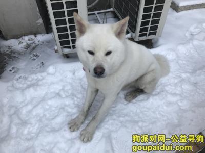 寻狗启示,南京路附近捡到白色秋田,它是一只非常可爱的宠物狗狗,希望它早日回家,不要变成流浪狗。