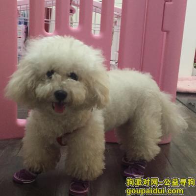 寻狗启示,寻白色两岁比熊-顺义后沙峪,它是一只非常可爱的宠物狗狗,希望它早日回家,不要变成流浪狗。