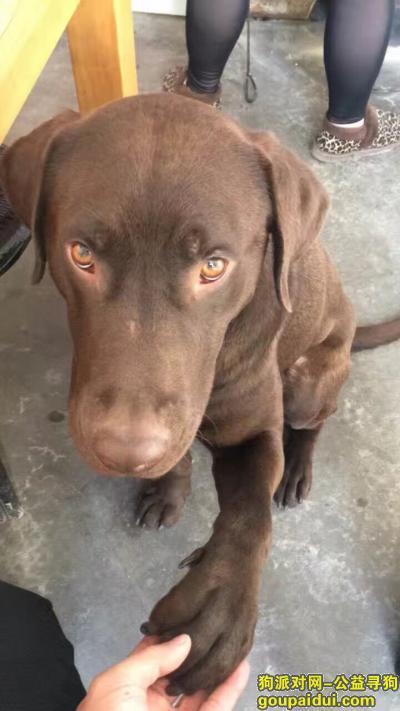 寻狗启示,包头九原找棕色拉不拉多,它是一只非常可爱的宠物狗狗,希望它早日回家,不要变成流浪狗。