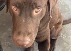 寻狗启示,包头九原寻棕色拉布拉多爱犬,它是一只非常可爱的宠物狗狗,希望它早日回家,不要变成流浪狗。