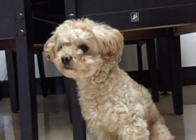 寻狗启示,2月23号在越城区罗门西村社区走失的贵宾贝贝,它是一只非常可爱的宠物狗狗,希望它早日回家,不要变成流浪狗。