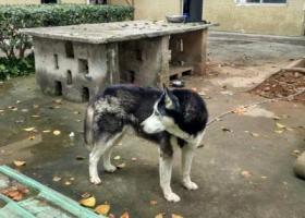 寻狗启示,在东莞塘厦横塘市场捡到一条哈士奇,请狗主速度联系18826855825,它是一只非常可爱的宠物狗狗,希望它早日回家,不要变成流浪狗。