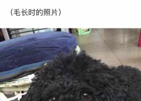 寻狗启示,汉中城固寻黑色泰迪狗,它是一只非常可爱的宠物狗狗,希望它早日回家,不要变成流浪狗。