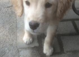 寻狗启示,金毛犬幼小寻主人,望主人看到赶紧认领,它是一只非常可爱的宠物狗狗,希望它早日回家,不要变成流浪狗。