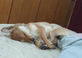 急!今天2月八号刚丢的一只黄毛土狗