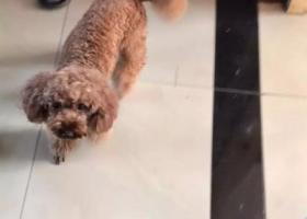 寻狗启示,义乌铁东南路夜市酬谢五千元寻找红贵宾,它是一只非常可爱的宠物狗狗,希望它早日回家,不要变成流浪狗。