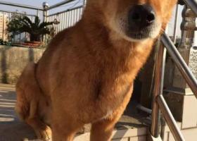 寻狗启示,找八岁土狗,黄色,在稠江街道一带走丢,它是一只非常可爱的宠物狗狗,希望它早日回家,不要变成流浪狗。