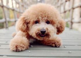 寻狗启示,寻狗启示 泰迪  【百百】,它是一只非常可爱的宠物狗狗,希望它早日回家,不要变成流浪狗。