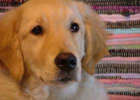 寻狗启示,寻狗启示 金毛【金宝】,它是一只非常可爱的宠物狗狗,希望它早日回家,不要变成流浪狗。