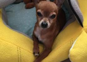 寻狗启示,河南省濮阳市华龙区滨河路寻找小鹿犬,它是一只非常可爱的宠物狗狗,希望它早日回家,不要变成流浪狗。