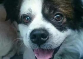 寻狗启示,紧急寻狗    土豆,你快点回来吧!,它是一只非常可爱的宠物狗狗,希望它早日回家,不要变成流浪狗。