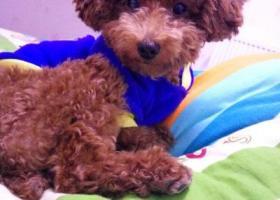寻狗启示,重金寻爱狗 咖啡色泰迪 八个月大 公狗,它是一只非常可爱的宠物狗狗,希望它早日回家,不要变成流浪狗。