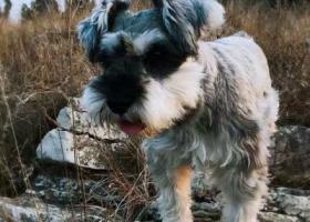 寻狗启示,徐州重金寻狗,5岁椒盐灰色雪纳瑞,求大家转发,它是一只非常可爱的宠物狗狗,希望它早日回家,不要变成流浪狗。