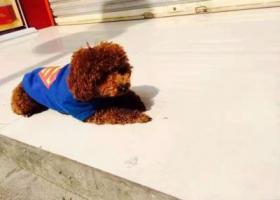 寻狗启示,重金寻狗 泰迪 公狗,它是一只非常可爱的宠物狗狗,希望它早日回家,不要变成流浪狗。