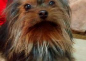 寻狗启示,百合公馆一期,丢失约克夏一只,它是一只非常可爱的宠物狗狗,希望它早日回家,不要变成流浪狗。