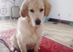 寻狗启示,寻找金毛狗狗,在泰安肥城走丢,望知情人士属于我们联系,,它是一只非常可爱的宠物狗狗,希望它早日回家,不要变成流浪狗。