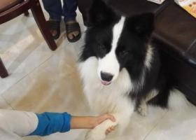 寻狗启示,捡到边牧很听话!会上车,握手!黑色白色相间,它是一只非常可爱的宠物狗狗,希望它早日回家,不要变成流浪狗。